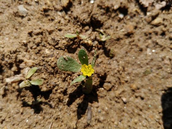 흙을 한번 뒤집었는데 용케 쇠비름이 살아남아 꽃을 피웠다. 뽑아내려다가 용기가 가상해 선처해줬다.