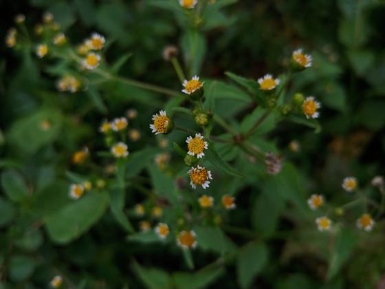 밭 여기저기에 자라는 흔한 풀이다. 이 꽃 뭐예요? 유명번역가 조영학 선생에게 물어봤다. 털별꽃아재비,라고 즉각 답이 왔다. 이 양반, 꽃에도 조예가 깊어 묻기만 하면 '자판기'처럼 이름이 나온다. 최근에 책 『천마산에 꽃이 있다』를 냈다. 털별꽃아재비는 남미가 원산인 풀이란다. 이 땅에 토착한 귀화식물은 꽤 많다. 타향도 정들면 고향이다. 외국사람 차별하면 우리도 밖에 나가 똑같이 당한다.