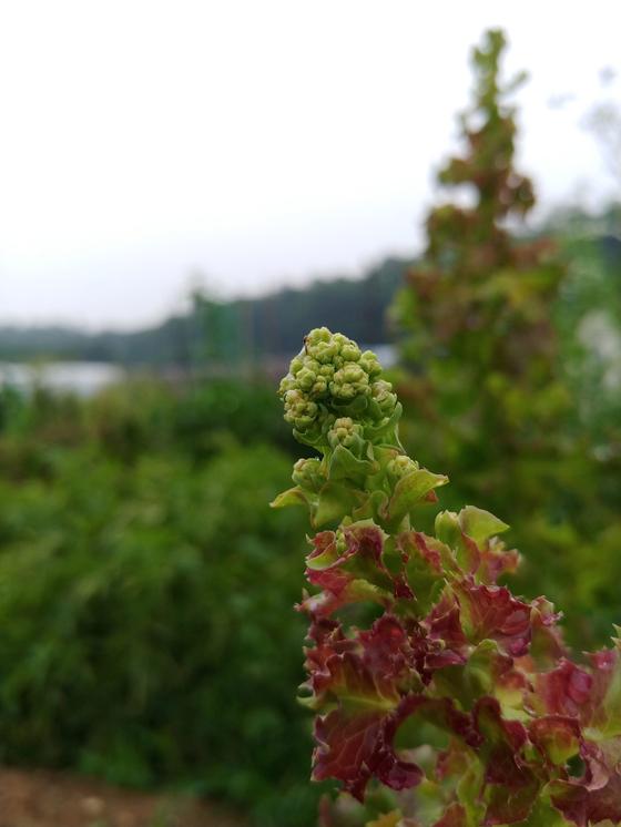 상추꽃망울 무더기. 어떻게 보아도 예쁜 꽃을 피울 것 같지 않다.