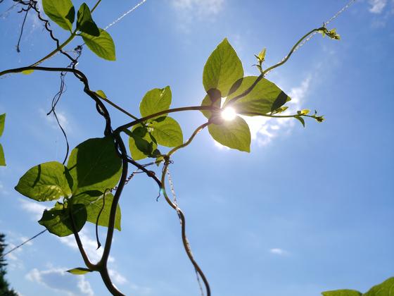 그늘집 아래 쳐놓은 그물을 기어오르는 더덕. 끓는 햇살 아래서 채소들은 얼마 남지 않은 생을 정리한다.