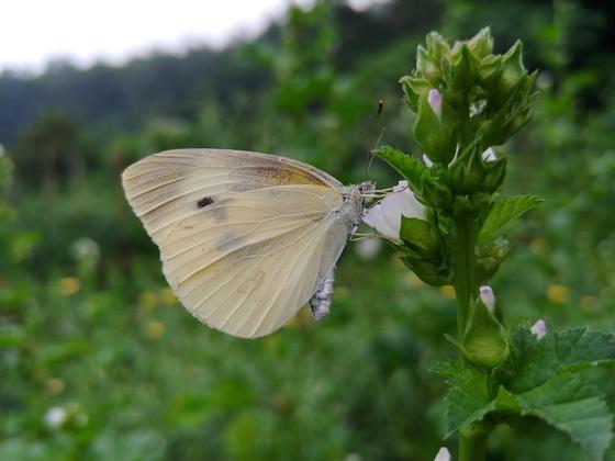 나비는 의심이 많아 가까이 가는 낌새가 있으면 금세 폴폴 날아간다. 아욱꽃이 얼마나 맛 나는지 이놈은 꼼짝을 않는다. 쪽쪼옥~ 꿀을 빠는 소리가 들리는 듯하다.