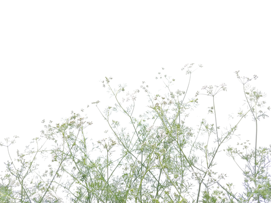 바글바글 고수 꽃. 바람이 일렁일 때 마다 진한 향이 나풀거린다. 작은 꽃도 모이면 크다.