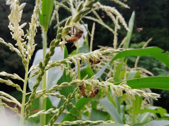 허공에서 흔들리는 '벌통' 옥수수꽃. 날아드는 벌과 꽃등에 날개 소리에 귀가 멍멍하다.