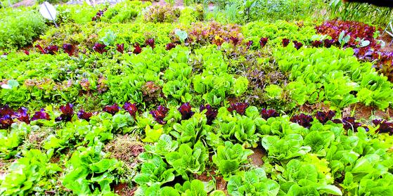 6월 중순만 해도 밭은 이렇게 여린 채소들로 가득했다. 한 달 지나 지금은 온통 억센 풀들 천지다. 천국과 지옥의 시간차는 한 달이다.
