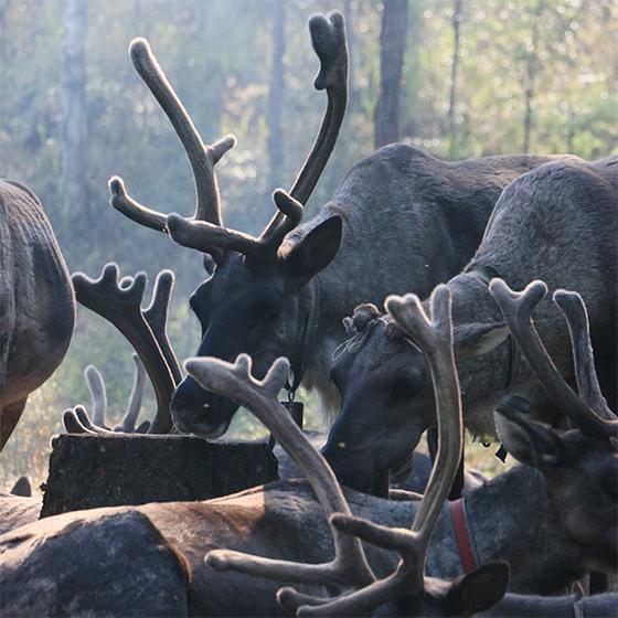내몽골 대흥안령 북단 삼림에 사는 야쿠터 어원커족은 수렵을 하면서 순록을 키워왔다. [사진 윤태옥]