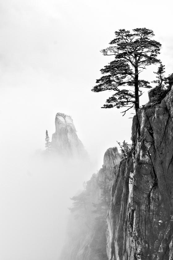 강레아 작가는 암벽 등반을 하며 설악산 소토왕골 절벽에 솟은 이 소나무를 찍었다. [사진 강레아]